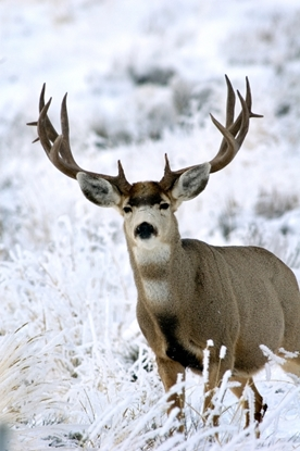 Picture of Individual - Mule Deer Buck Contest 2017