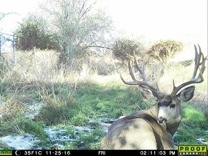Picture of Trail Camera - Mule Deer Photo Contest 2016-2017